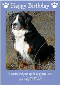 "Bernese Mountain Dog-Happy Birthday - ""Are You Really THAT Old"" Theme"